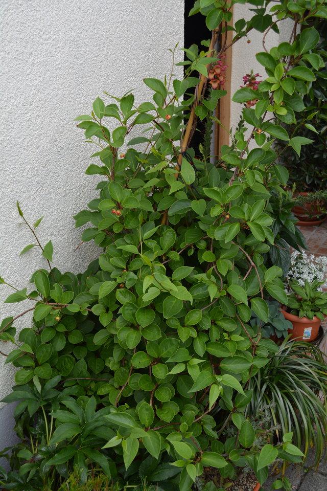 schisandra chinensis chinesisches spaltk rbchen. Black Bedroom Furniture Sets. Home Design Ideas