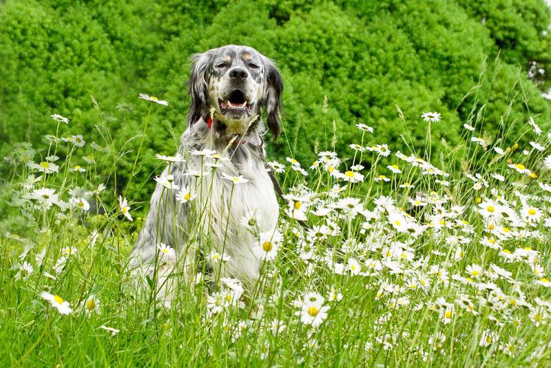 Bildertagebuch - Leon, freundlicher und anhänglicher Setterbursche liebt es bei Wind und Wetter durch die Wälder zu streifen ...  25876679aq