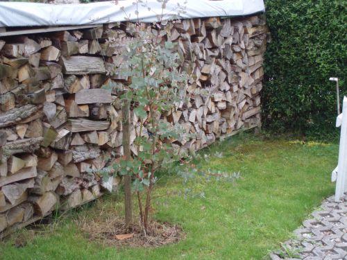 eukalyptus in den garten auspflanzen seite 1. Black Bedroom Furniture Sets. Home Design Ideas