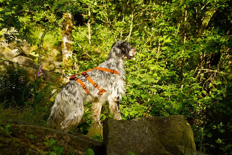 Bildertagebuch - Leon, freundlicher und anhänglicher Setterbursche liebt es bei Wind und Wetter durch die Wälder zu streifen ...  25970116cs