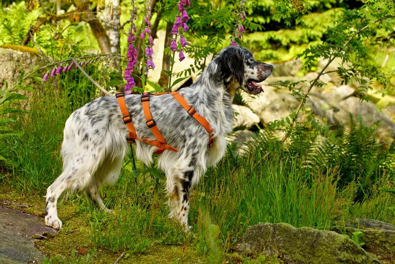Bildertagebuch - Leon, freundlicher und anhänglicher Setterbursche liebt es bei Wind und Wetter durch die Wälder zu streifen ...  25970733zs