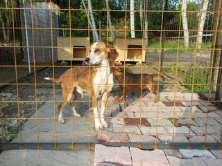 Tomy, Beaglemischlingsrüde und Tamy, Dackelmischlingshündin, geb. ca. Juni 2015 26060316ne