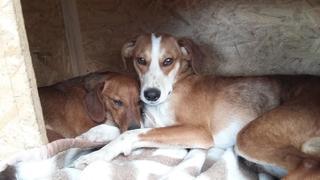 Tomy, Beaglemischlingsrüde und Tamy, Dackelmischlingshündin, geb. ca. Juni 2015 26060317no