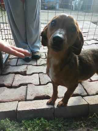 Tomy, Beaglemischlingsrüde und Tamy, Dackelmischlingshündin, geb. ca. Juni 2015 26060361ye