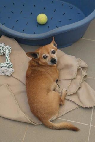 Morzsa, Chihuahuamischlingshündin, geb. ca. März 2009 26272192or