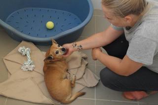 Morzsa, Chihuahuamischlingshündin, geb. ca. März 2009 26272194eb