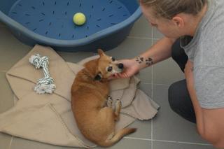 Morzsa, Chihuahuamischlingshündin, geb. ca. März 2009 26272195ce