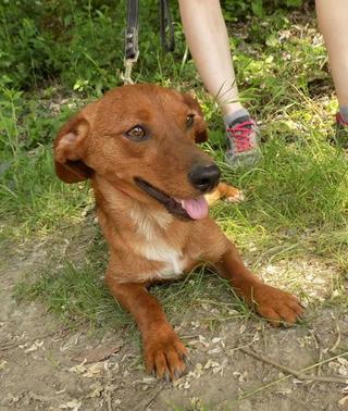 Tomy, Beaglemischlingsrüde und Tamy, Dackelmischlingshündin, geb. ca. Juni 2015 26328625gk