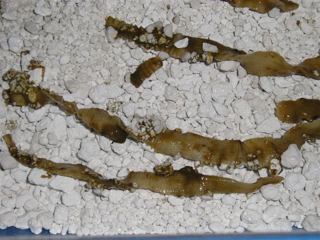 Der Honig für die Säuberung von den Parasiten