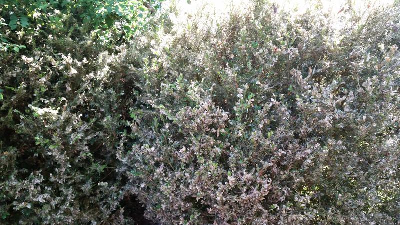 was tun gegen buchsbaumzünsler