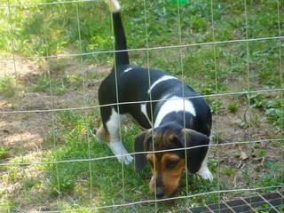 Bobby, Beaglemischlingsrüde, geb. ca. März 2016 26619661ef