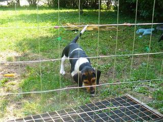 Bobby, Beaglemischlingsrüde, geb. ca. März 2016 26619663fd