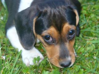 Bobby, Beaglemischlingsrüde, geb. ca. März 2016 26619664wq