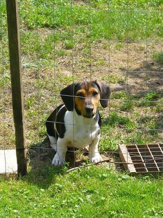 Bobby, Beaglemischlingsrüde, geb. ca. März 2016 26619665vu