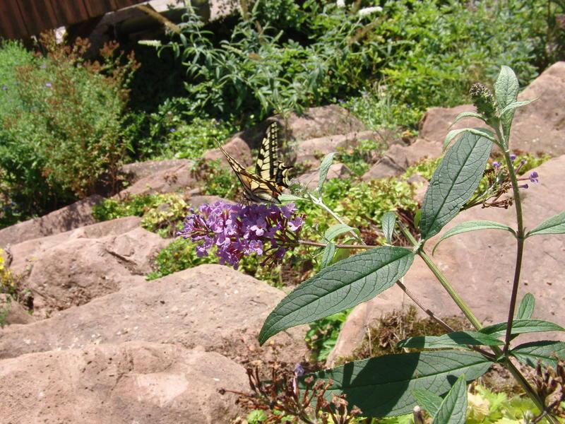 kohlpflanzen im garten bilder