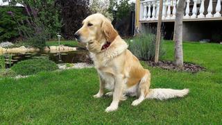Suzy, Golden Retrieverhündin, geb. ca. Oktober 2009 26771356gz