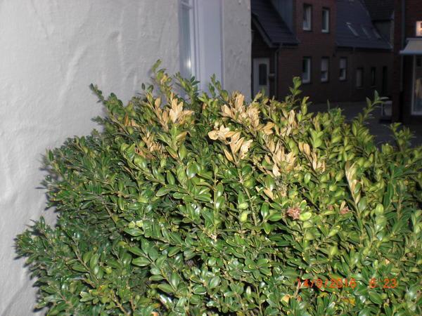Buchsbaum Hat Trockenschäden