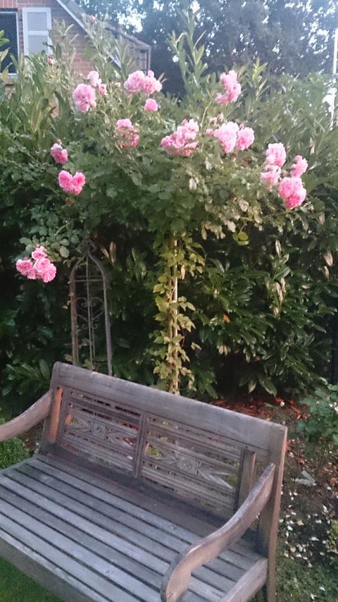 rose die nie verwelkt