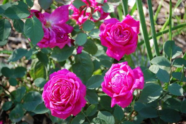 adr rosen liste rosen kletterrosen adr rosen pohl. Black Bedroom Furniture Sets. Home Design Ideas