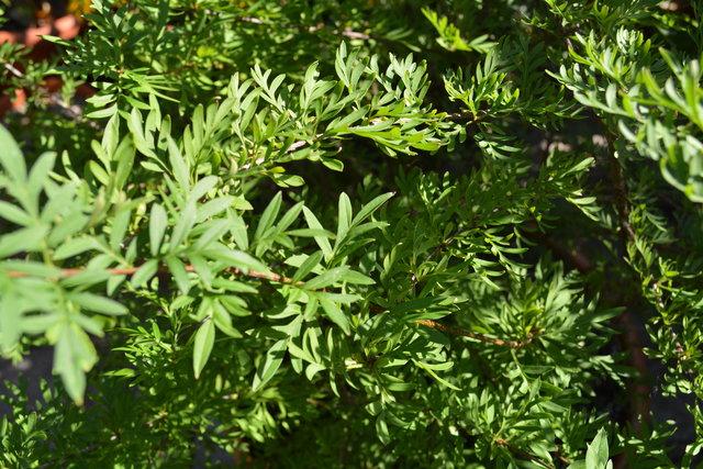 Gartenpflanzen Galerie Afghanischer Flieder Syringa Afghanica