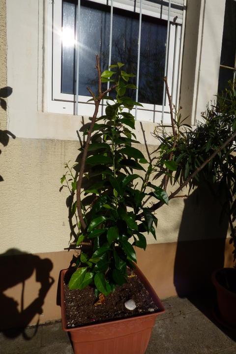 zitronenbaum berwintern was ist der geeignetste platz seite 2 garten. Black Bedroom Furniture Sets. Home Design Ideas