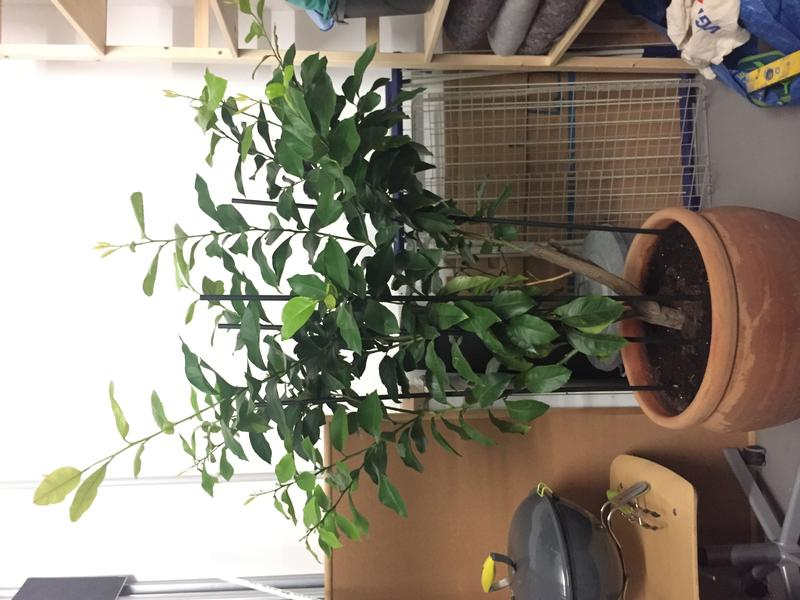 Zitronenbaum im Keller, plötzlich Blütenbildung - und nun? - Mein ...