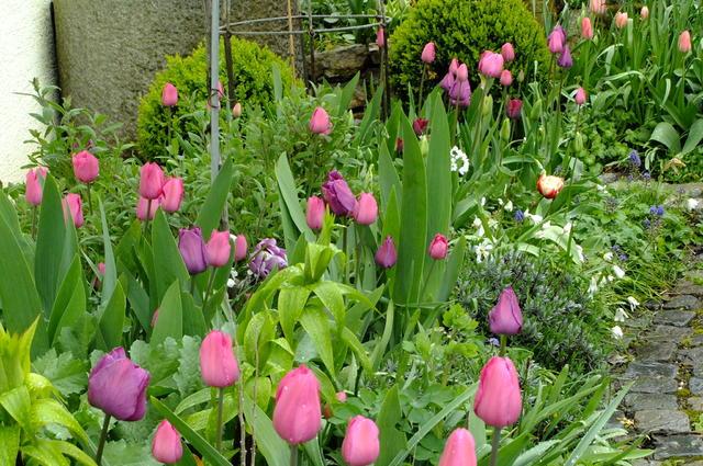 ausdauernde tulpen welche kommen wieder und vermehren sich. Black Bedroom Furniture Sets. Home Design Ideas