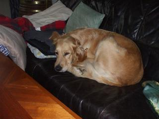 Suzy, Golden Retrieverhündin, geb. ca. Oktober 2009 27915641ve