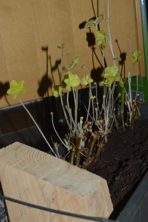 berwinterung von geranien und petunien fortetzung mein sch ner garten forum. Black Bedroom Furniture Sets. Home Design Ideas