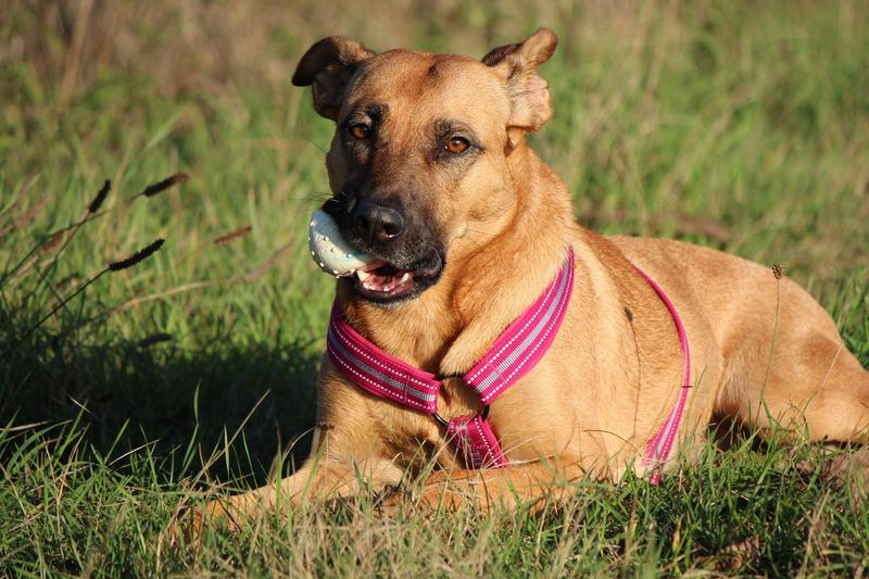 Bildertagebuch - Lina II, ein hübsche Lady die gerne Bällchen spielt und eine hundeerfahrene aktive Familie sucht ...VERMITTELT! 28079754va