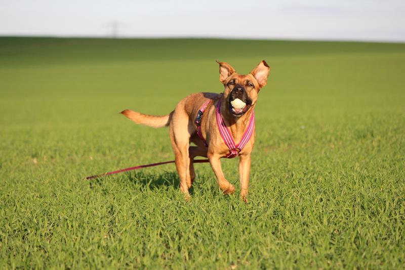 Bildertagebuch - Lina II, ein hübsche Lady die gerne Bällchen spielt und eine hundeerfahrene aktive Familie sucht ...VERMITTELT! 28079760ch