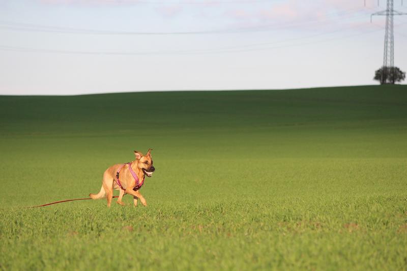 Bildertagebuch - Lina II, ein hübsche Lady die gerne Bällchen spielt und eine hundeerfahrene aktive Familie sucht ...VERMITTELT! 28079763hn