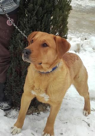 Bruno, Labradormischlingsrüde, geb. ca. Juli 2013 28205889yr