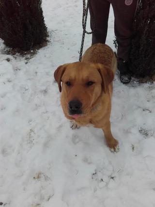 Bruno, Labradormischlingsrüde, geb. ca. Juli 2013 28205890lr