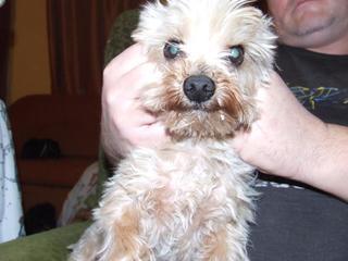 Zack, Yorkshireterrierrüde, geb. ca. August 2008 28295458jm