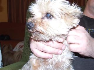 Zack, Yorkshireterrierrüde, geb. ca. August 2008 28295459zx