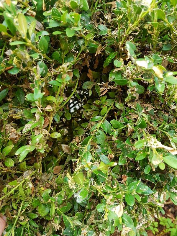 wächst buchsbaum nach befall zünsler weiter