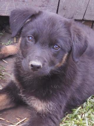 Sonny, Schäferhundmischlingsrüde, geb. ca. Januar 2017 28962714zb