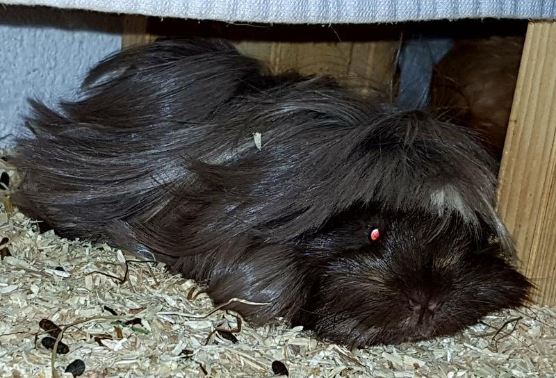 ovarium compositum meerschweinchen