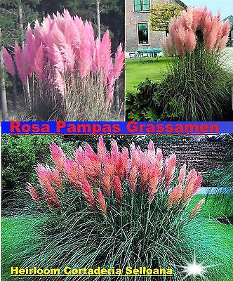 25x rosa pampas gras garten pflanze blumen cortaderia selloana blumen samen 255 ebay. Black Bedroom Furniture Sets. Home Design Ideas