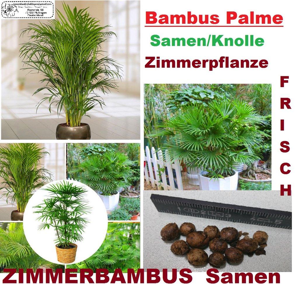 5x bambus palme zimmerpflanze samen knolle zimmerbambus frisch saatgut neu 261 ebay. Black Bedroom Furniture Sets. Home Design Ideas