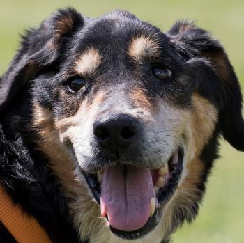 Bildertagebuch - Minerva: entzückenden Hundedame hätte gerne auf ihre alten Tage noch eine Familie! 29370477ky