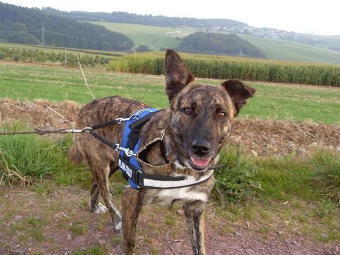 Doppelt gesicherter Hund (Geschirr und Halsband)
