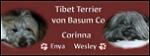 Tibet Terriern von Basum Co