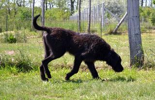Atlas, Wolfshundmischlingsrüde, geb. ca. Januar 2015 29767915zj