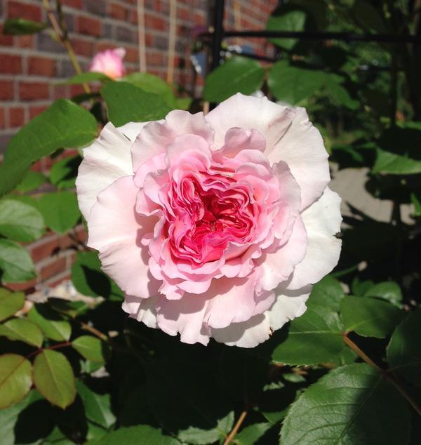 suche dringend hilfe bei entscheidung kletterrose in rosa. Black Bedroom Furniture Sets. Home Design Ideas