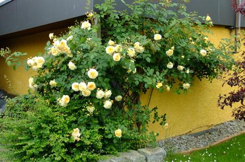 kann ich rosen und flieder zu diesen pflanzen erg nzen mein sch ner garten forum. Black Bedroom Furniture Sets. Home Design Ideas