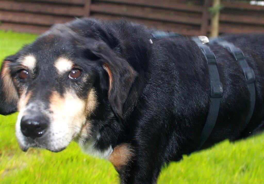 Bildertagebuch - Minerva: entzückenden Hundedame hätte gerne auf ihre alten Tage noch eine Familie! 30101194tu