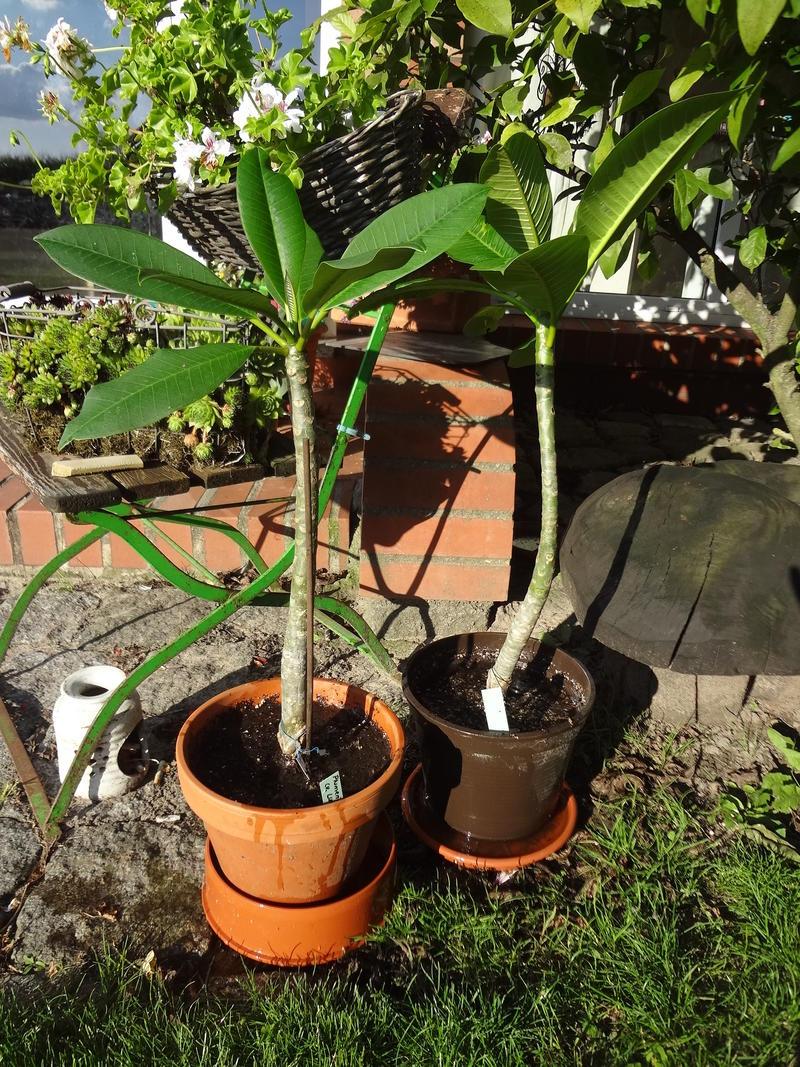 plumeria frangipani dünger