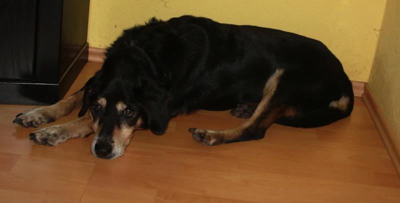 Bildertagebuch - Minerva: entzückenden Hundedame hätte gerne auf ihre alten Tage noch eine Familie! 30407331fy